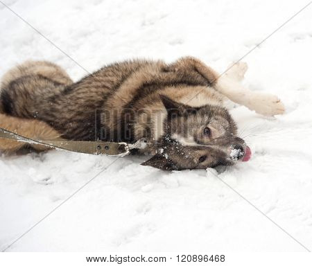 Grey Siberian Laika Lying Around On Snow