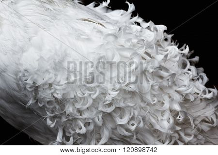 White Curly Feathers Texture For Background
