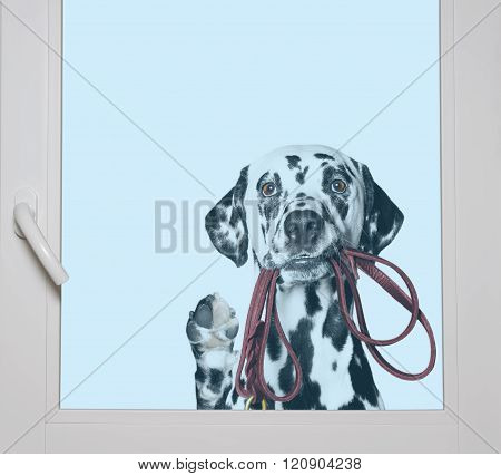 Dalmatian Is Holding The Leash In Its Mouth Looking Through The Window