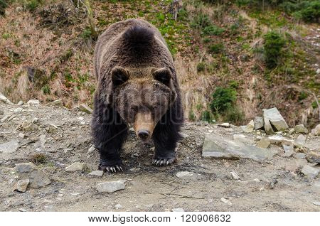 Severe Look Of A Brown Bear