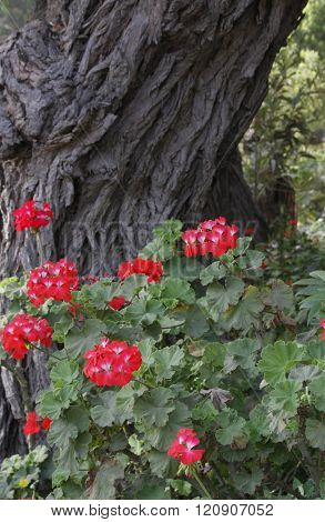 Geranium Flowers Beneath A Gnarled Tree Trunk