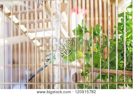 A green domestic budgie. Parrot eating grass