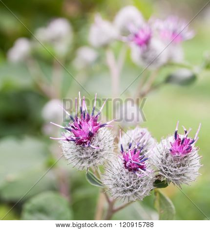 Thorny flowers and burdock seeds close up. Summertime nature.