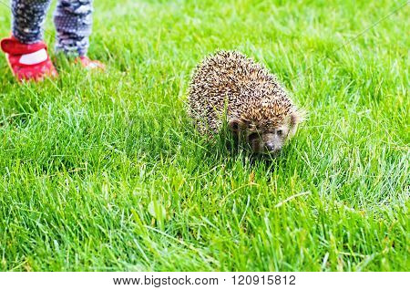 hedgehog. Wild hedgehog running around the grass by the child