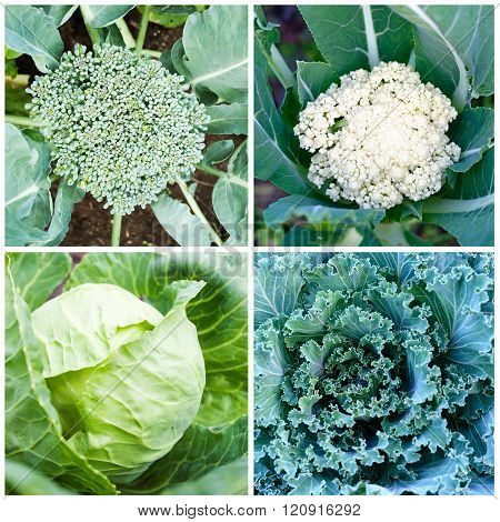 Set of different kinds of cabbage on vegetable bed
