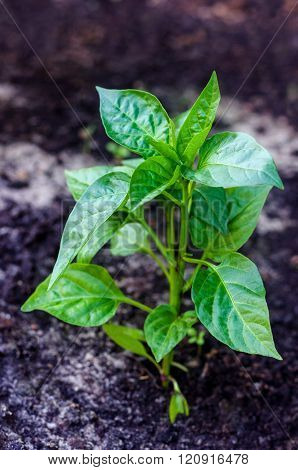 Green plant pepper. Seedlings planted in vegetable bed