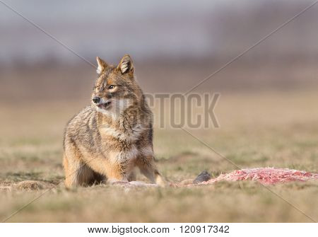 Golden Jackal Eating On Meadow