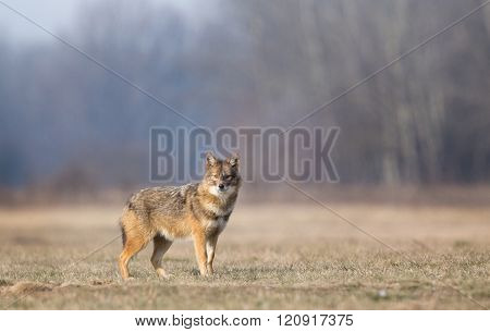 Golden Jackal Standing On Meadow