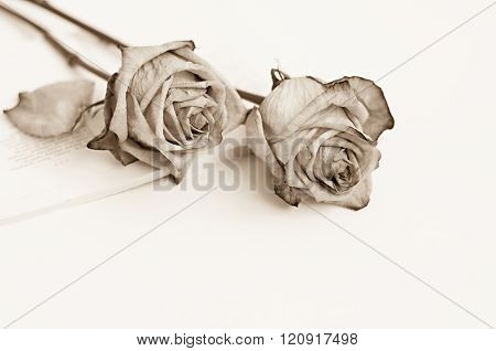 Sepia toned photo with two withered roses