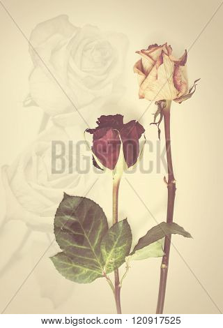 Dead rose .Roses frame. withered rose  on toned photo. Retro background