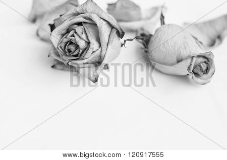 Fading rose. Dead rose. Roses frame. withered rose. Black and white photography