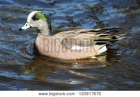 Wigeon Duck Drake Male Waterfowl
