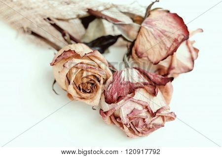 Fading Rose. Dried beautiful  rose flowers