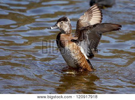 Ring Neck Duck Hen Female Migratory Bird
