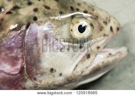 Dead Rainbow Trout Head