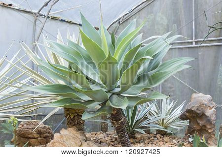 Big Agave Americana (American aloe) plant at garden