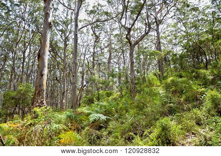 Boranup Forest: Karri Trees
