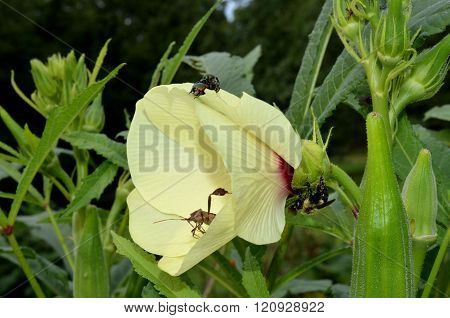 Okra blossom covered with insects, bugs and a bee