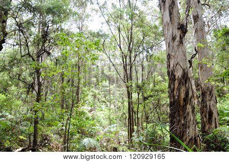 Dense Boranup Forest
