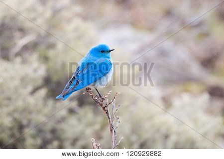 Male Mountain Bluebird, Yellowstone National Park