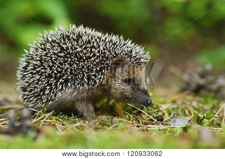 Young hedgehog in the forest