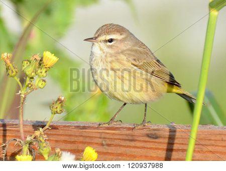 Palm Warbler on Wood Fencing