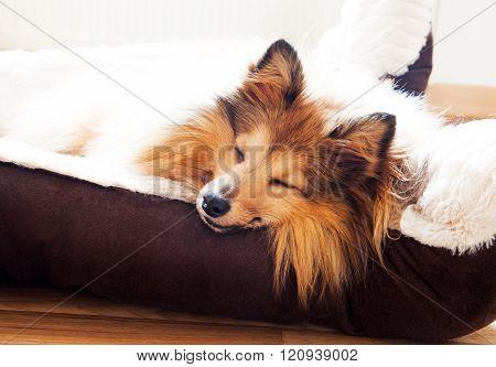 Shetland Sheepdog Sleep In Dog Basket