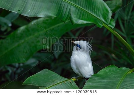 Bali Myna (leucopsar Rothschildi)