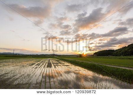 Sunset paddy field