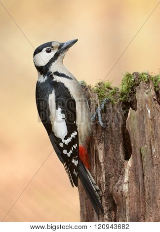 Woodpecker (dendrocopos Major)