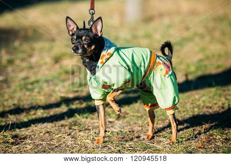 Beautiful Russkiy Toy Dog Dressed Up In Outfit, Staying Outdoor