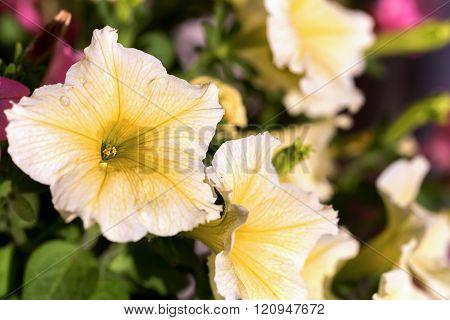 White Petunia Surfinia Vein