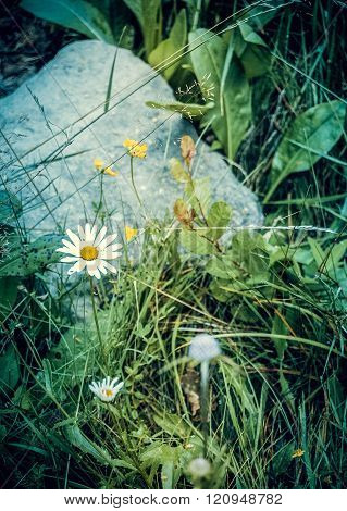white daisy, and a stone in the grass