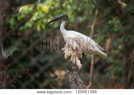 Black-headed Ibis In Cage