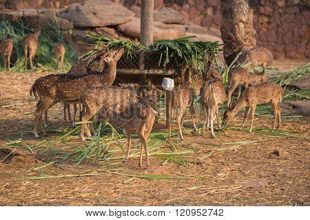 Chital, Cheetal, Spotted Deer, Axis Deer Eating