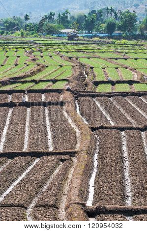 Rows Of Onions And Rows Of Soil