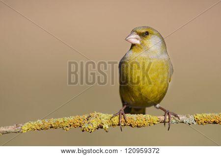 European Greenfinch ( Carduelis Chloris )