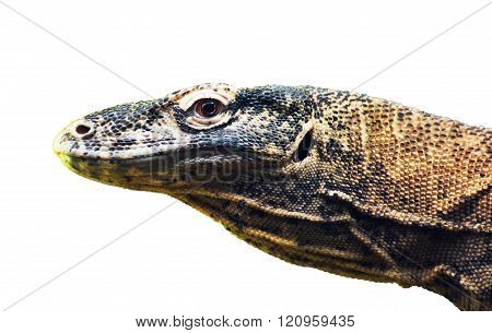 Komodo Dragon (varanus Komodoensis) Portrait On The White Background