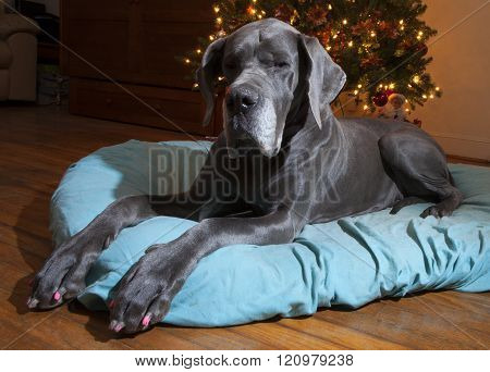 Posing Great Dane