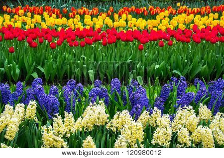 Beautiful spring flowers in Keukenhof park in Netherlands (Holland)