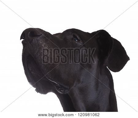 Black Great Dane looking up isolated on a white background