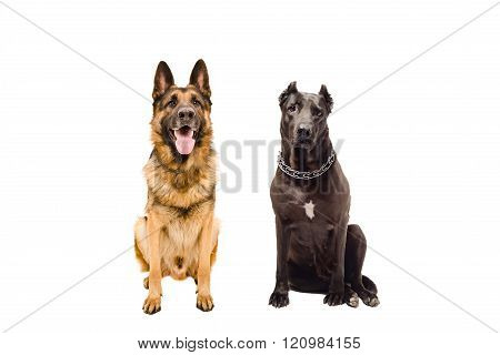 German Shepherd and Staffordshire terrier sitting together