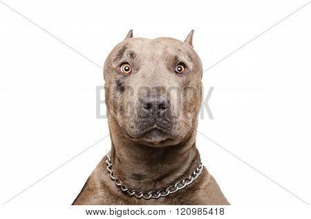 Portrait of a pitbull