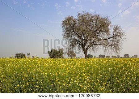 Punjabi Mustard Crop
