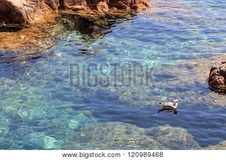 Bird Swimming In The Sea In Gerona