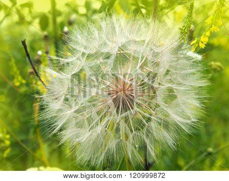 dandelion fuzz swelled drops, spring background, summer light