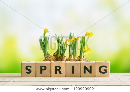 Daffodil Flowers And The Word Spring