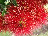 pic of christmas flower  - new zealand christmas tree in full bloom