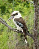 stock photo of kookaburra  - australian kookaburra bird sitting in a gum tree - JPG