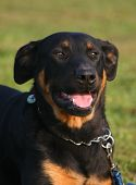 Happy Beauceron